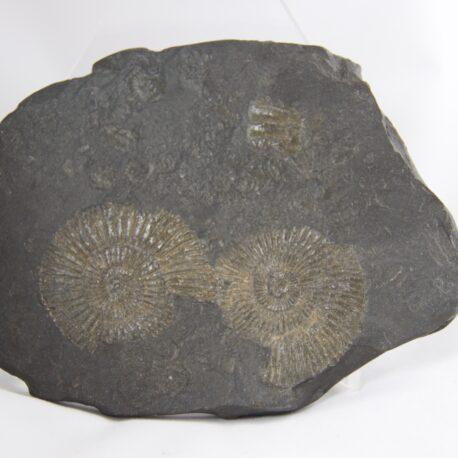 ammonitefs80mmx130mm25